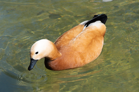 The ruddy shelduck or red duck ogar swimming and taking a bath in the water of fountain in botanical garden at warm and sunny spring day
