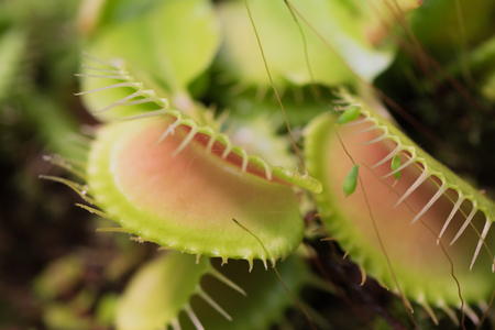 Closeup of green Venus flytrap, carnivorous plant, at greenhouse of Botanical Garden Reklamní fotografie