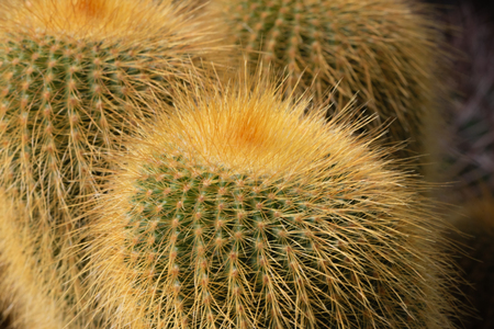 Closeup of spherical Echinocactus with golden yellow prickles