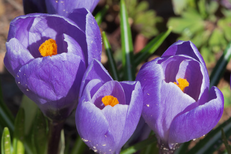 Closeup of purple crocus blossoms with yellow stamens and narrow, grass-like leaves at warm sunny spring day Reklamní fotografie