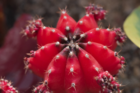 Closeup of the moon cactus created by the red Gymnocalicium mihanowichii grafted onto the hylocereus cactus at greenhouse of Botanical Garden