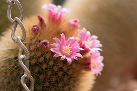 Blooming Mammillaria, pincushion cactus, with beautiful pink flowers and closeup of metal chain at botanical garden