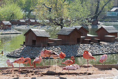 Flock of sleeping pink and red flamingos standing on one leg with wooden bird houses at the island on the background in Moscow Zoo