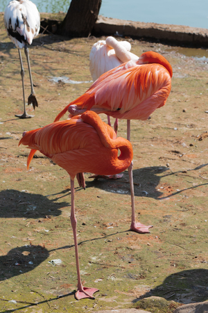Sleeping pink and red flamingos standing on one leg and hiding their heads under their wings in Moscow Zoo at spring sunny day