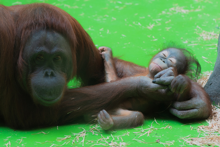 Smiling mummy orangutan taking care of her sleeping cute little baby with green floor on the background Reklamní fotografie