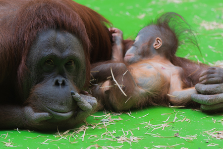 Smiling thoughtful mummy orangutan taking care of her sleepy cute little baby boy with green floor on the background Reklamní fotografie