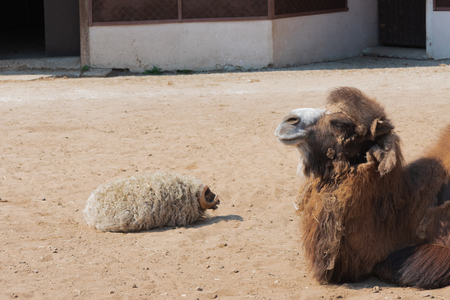 Sleepy two-humped bactrian camel and ram covered with hay lying on yellow sand Reklamní fotografie