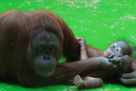 Smiling mummy orangutan taking care of her sleepy cute little baby with green floor on the background