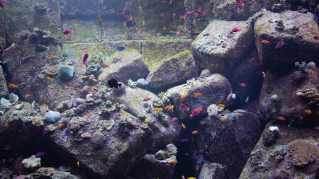 View of different exotic colorful aquarium fish floating in the water of aquarium on the background of rocks covered with seaweed