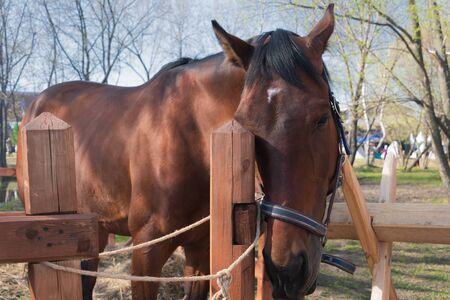 Closeup of the sad bay horse with white spot on forehead and black mane snuggling up to the wooden fence and tied to it Reklamní fotografie