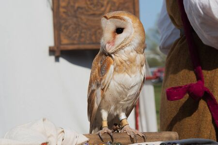 Male of barn owl sitting on wood stick and looking sideways on background of white wall of tent and back of woman in medieval costume