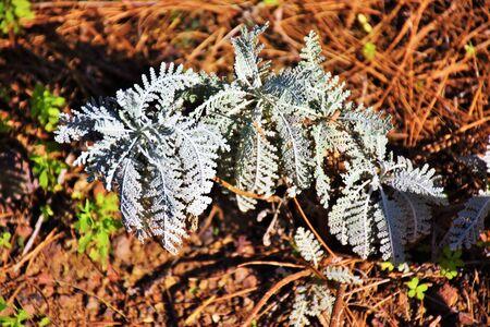 Gonospermum ptarmiciflorum