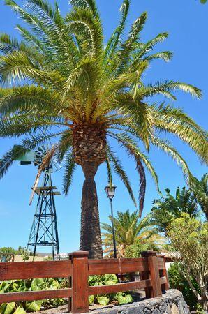 Canary Islands date palm