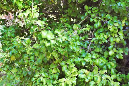 Wild Maytenus canariensis plant found in the Canary Island