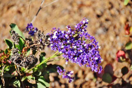 Close up of the wild purple limonium sventenii flowers Foto de archivo
