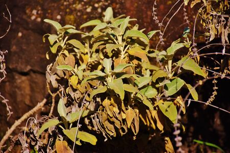 Salvia canariensis plant in the Canary Island Foto de archivo