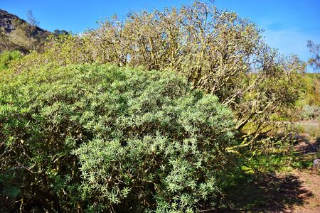 Euphorbia balsamifera plant in the Canary Island