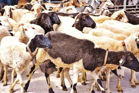 Cattle of sheep