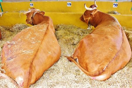 Canarian cows