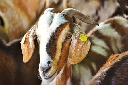 Canarian goat head