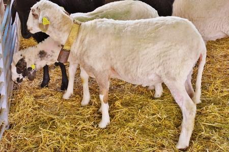 Canarian sheeps sheared Foto de archivo