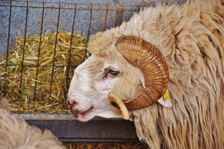 Canarian ram in a stable