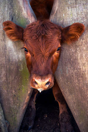 Beef calf in the pen waiting to be vaccinated