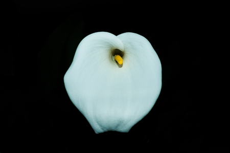 Close-up image of White Calla Lily (Zantedeschia aethiopica) on black background. (Fuji city, Japan - May 20, 2018). Stock Photo