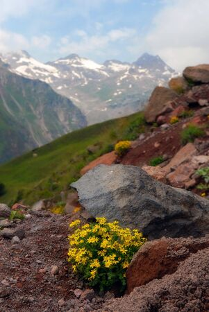 The Alpine flowers in stones against the Caucasian mountains photo