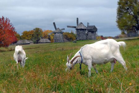 grazed: Goats are grazed on a meadow against mills Stock Photo