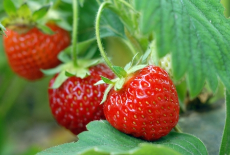 Strawberry growing on a bed