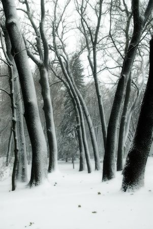 Trees in snow in winter park. photo