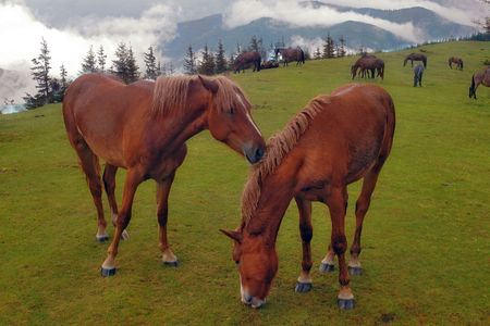 Horses are grazed on a meadow in Carpathians photo