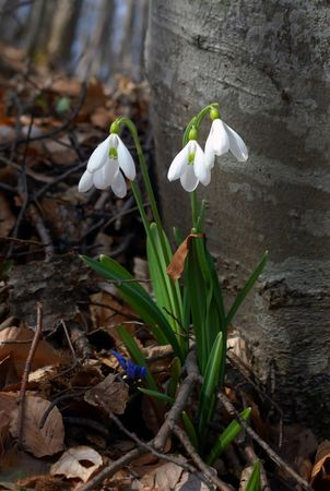 snowdrops are in the spring forest