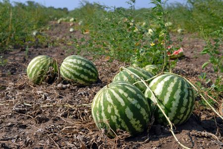Ripe water-melons on a water-melon field Фото со стока - 5547078
