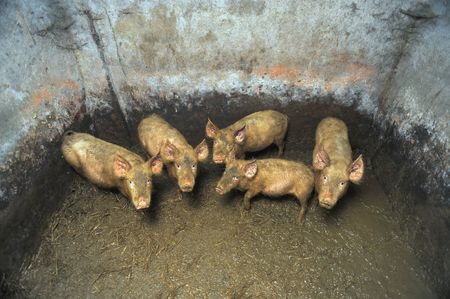 Dirty small pigs in a dirty pigsty photo