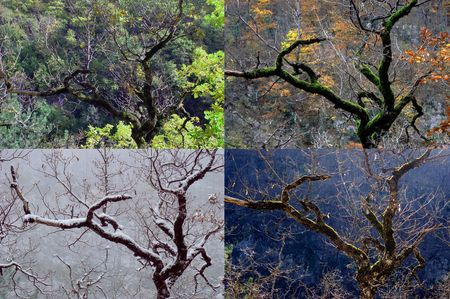 Four seasons, tree a beech and its four seasons photo