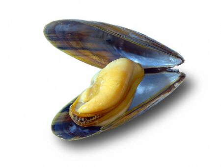 The big New Zealand mussel on a white background