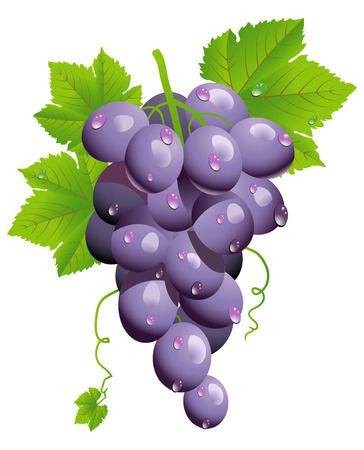 grapes on vine: Grape cluster isolated on white -illustration Illustration
