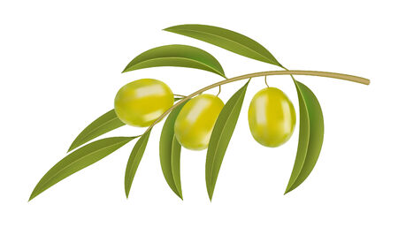 olive branch: green olives on branch