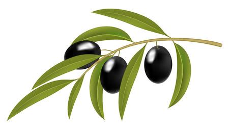 Aceitunas negras en rama, ilustración vectorial detallada