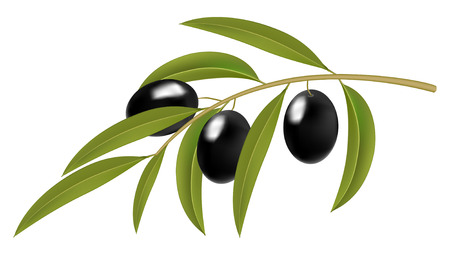 Black olives on branch, detailed vector illustration