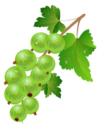pulpy: Green gooseberry on a white background. Illustration
