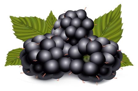 frutos rojos: dewberries (moras) y hojas verdes son sobre fondo blanco  Vectores