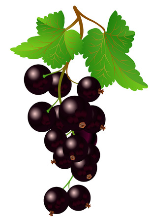Currant black on bench on a white background 向量圖像