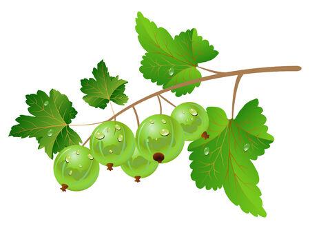 Green gooseberry on a white background. Illusztráció