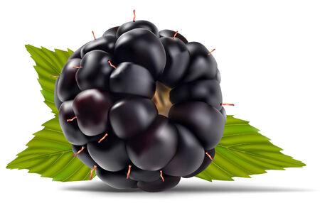 blackberry fruit: dewberries (blackberries) and green leaves are on white background vector