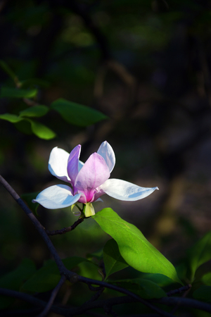 Lotus-flowered Magnolia flower closeup,beautiful white with pink flower blooming in the countryside in spring Archivio Fotografico