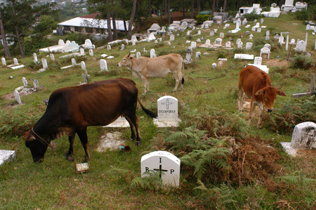 coffins: Sagada christian cemetery, near Echo Valley. Sagada. Northern Luzon. Philippines. Coffins on the ground with cows eating grass.