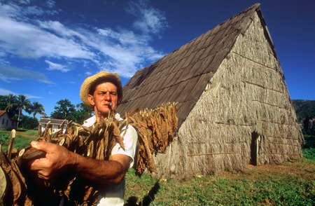 live work city: Pinar de Rio Cuba Cuban tobacco farming farm cigar cigars plantation leaf leafs. Tobacco plantation and drying shed, Pinar del Rio province, Cuba. Editorial